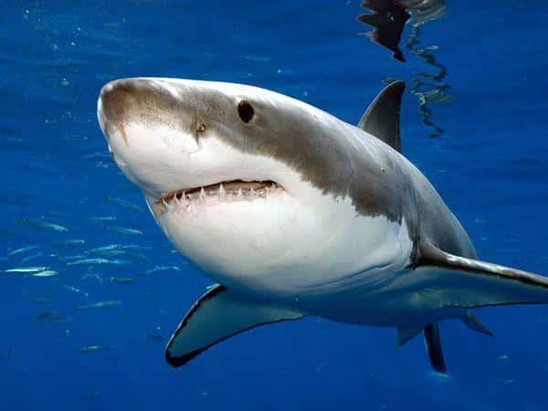 Grande squalo bianco a sydney