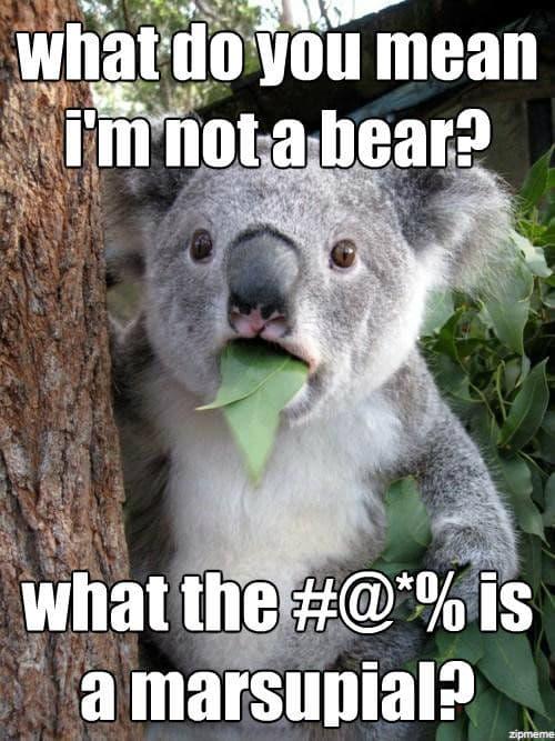Il koala è un orso